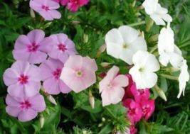 SHIPPED From US, PHLOX ANNUAL MIXED COLORS 50 FRESH SEEDS FREE SHIPPING-SPM - $16.99