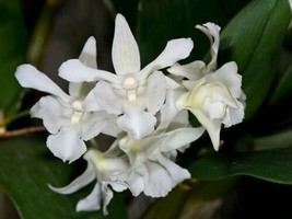 Dendrobium Mini Snowflake Primary Hybrid Orchid Plant Blooming Size 1024 - $26.99