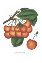 Seed Catalog: Yellow Spanish - Seneca Seed Catalog - 1893 - $12.95+