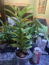 Epidendrum Reed Type Orchid Plant Blooming Size YELLOW radicans ~~~~~~~~~0131 image 2