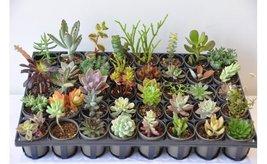 "Assorted 2"" Pot Succulents Exotic Succulent Plants (30, 35, 40) image 2"