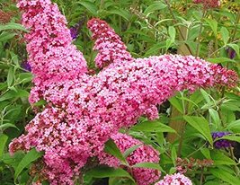 Starter Plant Buddleia Pink - Butterfly Bush - Shipping Starts June 1st - $29.79