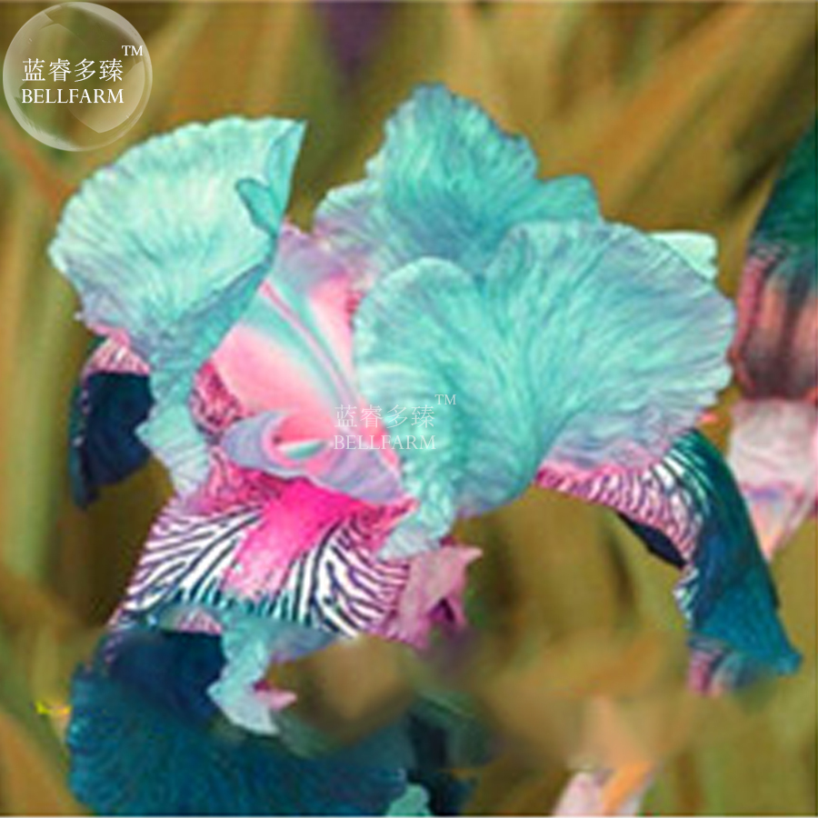 Primary image for 20 Pcs Iris Orchid Tectorum Seed, Home Decorative Heirloom Flower Seeds T9 LR