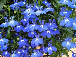 100 Lobelia Seeds Blue Lobelia Erinus Garden Flowers Home & Garden - $5.09