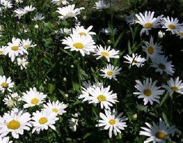 SHIPPED From US,PREMIUM SEED:200 Particles of Ox Eye Daisy Flower,Hand-P... - $20.99