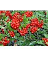 FROM US 25 SCARLET FIRETHORN Pyracantha Coccinea Bush Shrub Flower SBR - $11.99