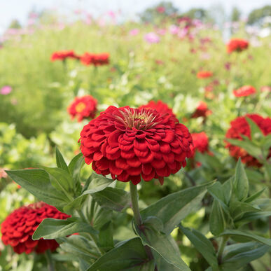 Primary image for Benary's Giant Scarlet Zinnia Seed, Zinnia Flower Seeds