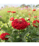 Benary's Giant Scarlet Zinnia Seed, Zinnia Flower Seeds - $21.00