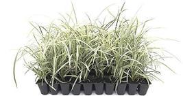 Aztec Grass - 10 Live Plants - Variegated Liriope - Ophiopogon Intermedius Argen - $44.98