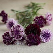 Classic Magic Centaurea Seed /  Centaurea Flower Seeds - $12.00