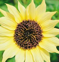 15pcs Very Beautiful Sun flowers Bright Yellow and many heads ornamental - $14.05