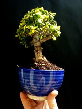 Extraordinary Bonsai - Portulacaria afra - 16 year old - Perfect bonsai - $95.90