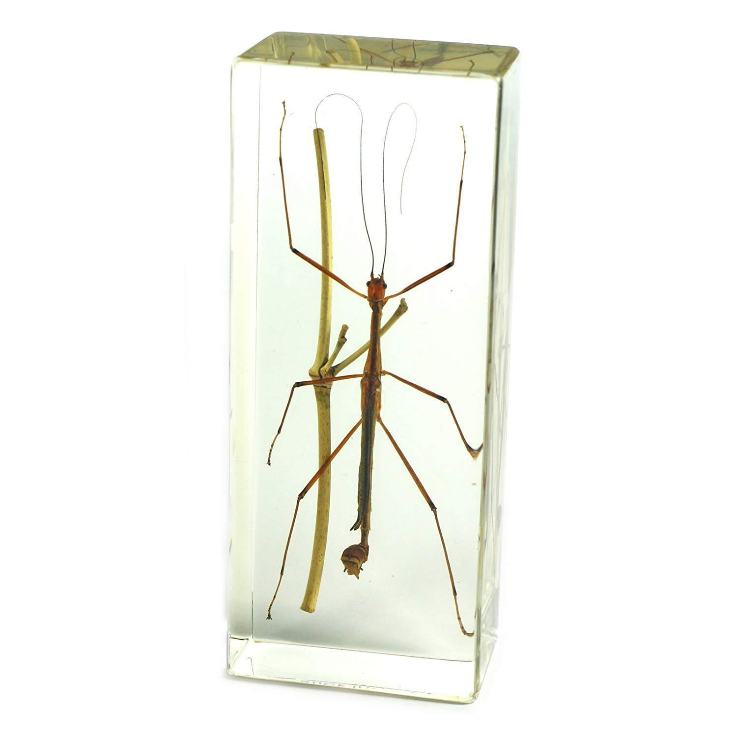 "Primary image for Vintage Real Stick Bug Insect Phasmatodea Acrylic Paperweight (4.4x1.6x1.1"")"
