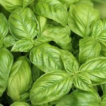 Non GMO Large Leaf Italian Basil - 500 Seeds  - $7.99