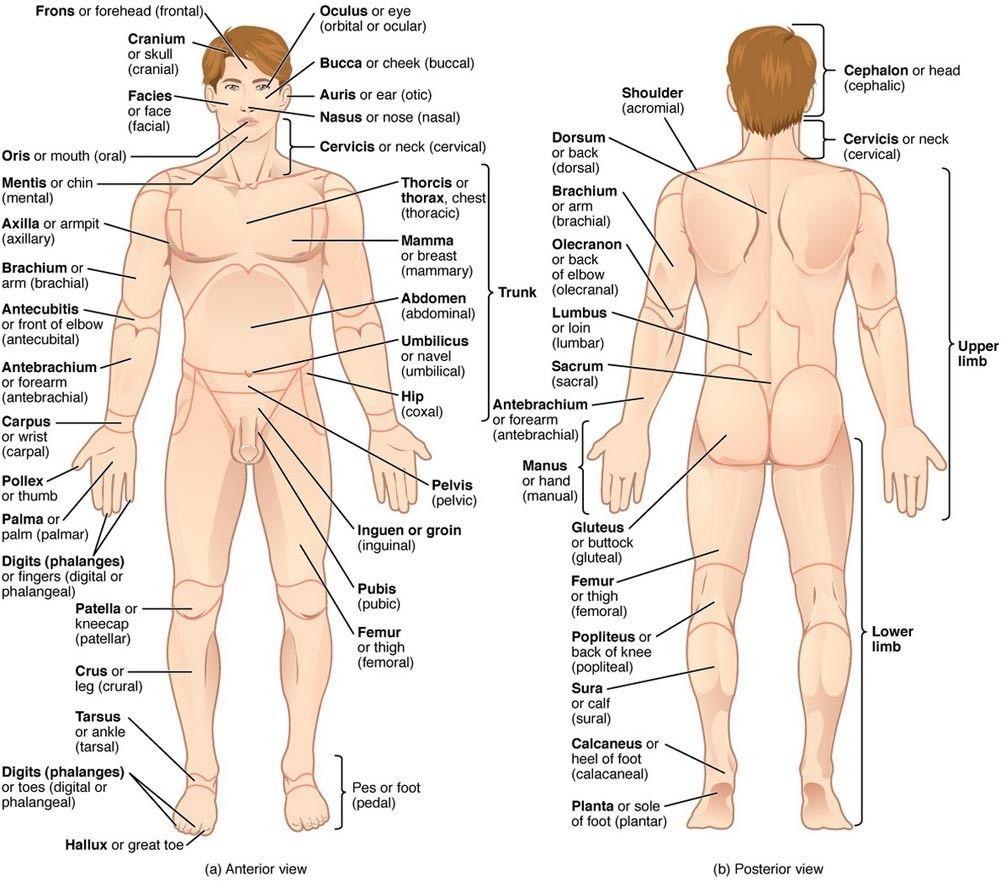 Anatomy Human Body Tutorials Map Art Poster Decor ...
