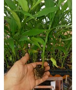 Green Myogi  Myoga Mioga Japanese cooking ginger live plant free shipping - $16.75