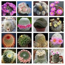 10 Mammillaria Mix Seeds Easy Grow Cactus Succulent - $5.89