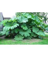 2 Live potted - Huge Gunnera Manicata Plants - Dinosaur Food Plants - 6-... - $67.41
