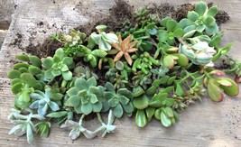 Lot of 5 Fully Rooted Succulent Starter Plants, lg. variety - Quick Ship - $9.89