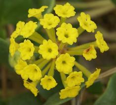 20 seeds - Yellow Sand Verbena Coastal Abronia Latifolia Arenaria #SFB15 - $17.99