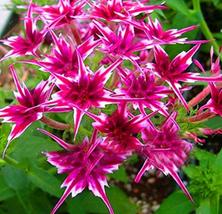 50pcs Very Lovely Phlox Flower Seeds Garden Courtyard Bonsai Plants Flower Seeds - $15.55