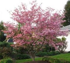 10 Pink Dogwood Tree Seeds-1193A - $3.98