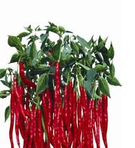 BEST PRICE 200 Seeds Imported Thai Eugonic Pepper,DIY Vegetable Seeds TS144 DG - $7.00