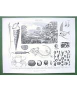 FOSSILS Shells Skeletons Miocene Epoch - 1870s Original Print Engraving - $26.01