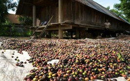 green coffee beans 20 pounds uganda. Nice darker roasts - $94.05