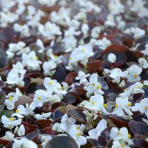 150 Pelleted Begonia Seeds Chocolates White FLOWER SEED- Garden & Outdoor Living - $58.99