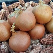 1/2 Gram Seeds of Talon Onion Conventional & Organic - $21.68