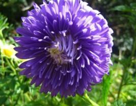 30 Pcs Seeds French Peony Callistephus Duchess Dark Blue Aster Flower - DL - $16.00