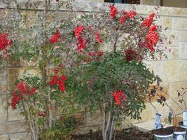 Domestic Nandina ( Heavenly Bamboo) image 6