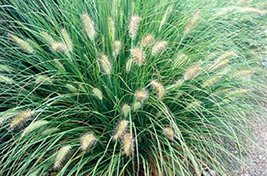 4 Bare Root of Pennisetum Orientale - Orient Fountain Grass - $118.80
