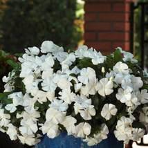 150 Vinca Seeds Sunsplash Bright White Flower Seeds - Outdoor Living - Freeship - $49.99