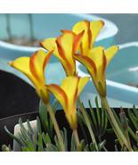 50 Bulbs Rare Oxalis namaquensis The Netherlands imports Flowers bulbs c... - $7.99