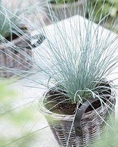 Festuca o. 'Elijah Blue' Live Plant - fit 1 Gallon pot - w FREE GIFT - From Bell - $9.99