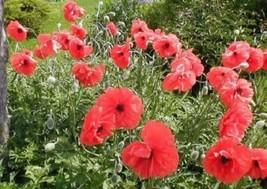 3 Variety Red Flower Fresh Seeds Poppy American Legion #SMA1 - $12.99+