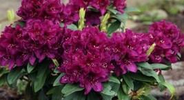 "1 Live Plant 2"" Pot Rhododendron Polarnacht Plant, Polar Night Rhododend... - $64.00"