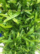 """MICROSORUM DIVERSIFOLIUM - KANGAROO PAW - 3"""" pot - 1 PLANT - $9.80"""