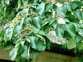 Heirloom 50 Bothrocaryum controversum (Hemsl.) Pojark. Tree Shrubs Herb ... - $11.05