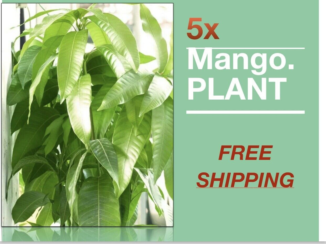 Primary image for SHIP FROM US 5x Mango Tropical Fruit Tree Plant (Turpentine) TPE3