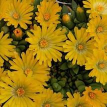 "40 Sedum Delosperma ' Gold Nugget "" - Live Plant - Perennial Ground Cover - $126.42"