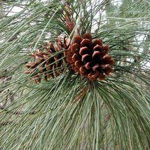 50 Ponderosa Pine Tree Seeds, Pinus Ponderosa - $19.00