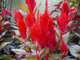 celosia, PAMPAS PLUME flower mix, 205 SEEDS! - $7.99
