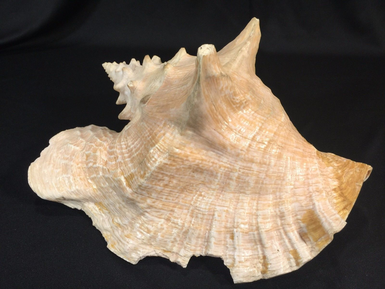 "Primary image for Large Conch Type Shell Approximately 9"" long"
