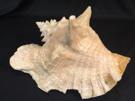 "Large Conch Type Shell Approximately 9"" long - $59.99"