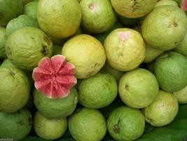 25 TROPICAL GUAVA PLANT SEED(Psidium Guajava) Fruit Tree Shrub-Perennial ! - $2.92
