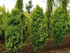 4 Year PLANT of Buxus Sempervirens Graham Blandy - $198.00