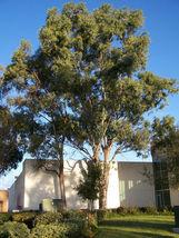 50 Eucalyptus globulus, Tasmanian Blue Gum, Tree Seeds (Fast Fragrant Ev... - $11.99